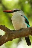 kingfisherskogsmark Royaltyfri Bild