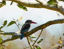 kingfisherskogsmark Royaltyfri Foto