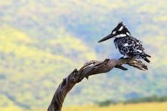 Kingfisherwith Pied no espaço do negativo do branchwith Fotos de Stock Royalty Free