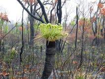 Kingia survivent après le feu de buisson Photos libres de droits