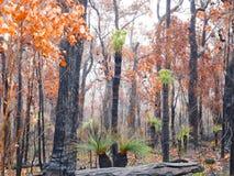 Kingias survivent après le feu de buisson Photos stock