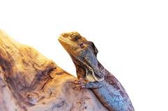 Kingii froncé de Chlamydosaurus de lézard de cou Photos libres de droits