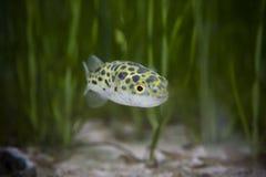 Kingkong Fisch- oder Pufferfische oder grüne Schüssel Fische oder Grün beschmutzten Puffer Stockfotografie