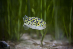 Kingkong fish or puffer fish or green bowl fish or Green spotted puffer Stock Photography