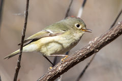 Kinglet couronné par rubis Photos stock