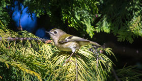 Kinglet de Goldcrest Photo libre de droits