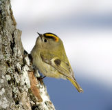 Kinglet ( Regulus ) Royalty Free Stock Photography