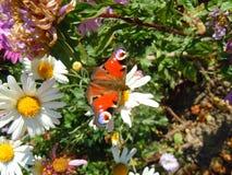 Kingleten i crusantemumsna arbeta i trädgården, soliga middagar arkivbilder