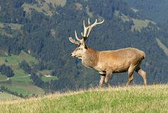 Kingly deer Stock Images