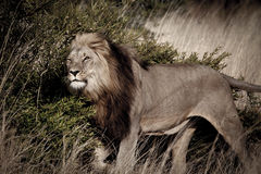 The Kings Bush. A male Lion in the bush Royalty Free Stock Photography