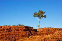 Kings Canyon. Tree in Kings Canyon, orange rocks in a desert in Australia Royalty Free Stock Photos