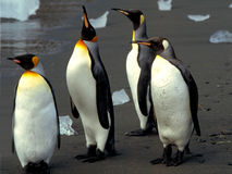 Kings penguins. Bath : yes or no Stock Photos