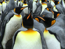 Kings penguins. Subantartic island Royalty Free Stock Photos