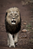 The Kings Road. A male Lion in the bush Stock Images