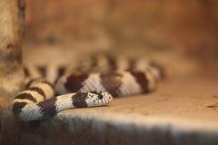 kingsnake california Стоковые Изображения RF