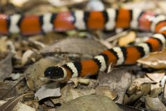Kingsnake de montagne de la Californie Photos stock