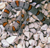 Kingsnake Royalty Free Stock Photography