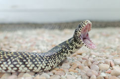 Kingsnake or lampropeltis getula brooksi Royalty Free Stock Photography