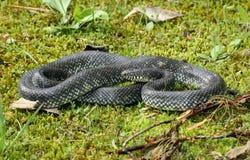 Kingsnake noir Image stock