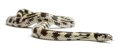Kingsnake oriental de banane ou kingsnake commun Photographie stock