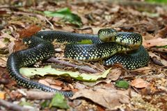 Kingsnake preto (getula do Lampropeltis) Fotografia de Stock Royalty Free