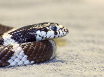Kingsnake  snake face and head Stock Photography