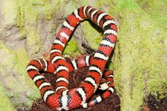 Kingsnake in Terrarium Royalty Free Stock Photos