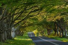 Kingston-Lacey Baum-Allee, Dorset, Großbritannien stockbild