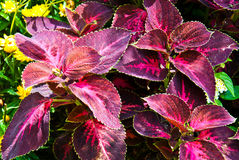 Kingswood Torch - Coleus plant. Plectranthus scutellarioides, Family: Lamiaceae. The Coleus Kingswood Torch has flaming magenta foliage. Coleus plants are Stock Image