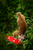 Kinkajou, Potos flavus, animal tropical dans l'habitat de forêt de nature Mammifère en Costa Rica Scène de Widlife de nautre Kink image stock
