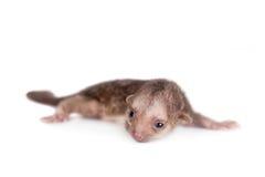 Kinkajou, Potos Flavus, Baby des einmonatigen Babys auf Weiß stockfotos