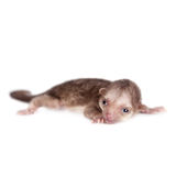 Kinkajou, Potos Flavus, Baby des einmonatigen Babys auf Weiß stockfotografie