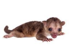 Kinkajou, Potos Flavus, Baby des zweimonatigen Babys auf Weiß lizenzfreie stockfotos