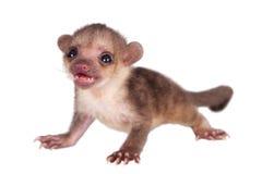 Kinkajou, Potos flavus, 2 maand oude baby op wit royalty-vrije stock fotografie