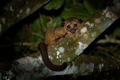 Free Kinkajou - Potos Flavus, Rainforest Mammal Of The Family Procyonidae Related To Olingos, Coatis, Raccoons, And The Ringtail And Stock Image - 135578081