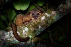Kinkajou - Potos flavus, rainforestdäggdjur av familjprocyonidaen släkt olingos, coatis, tvättbjörnar och ringtailen och arkivbild