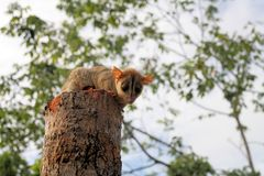 Kinkajou (potos flavus) on tree in Venezuela Stock Photos