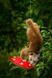 Kinkajou Potos flavus, vändkretsdjur i naturskoglivsmiljön Däggdjur i Costa Rica Widlife plats från nautre Lösa Kinkajou fotografering för bildbyråer