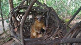 Kinkajou in seinem Nest innerhalb eines Käfigs auf Ekuadorianer Amazonas Allgemeine Namen: Cusumbo, Tuta-kushillu stockbilder