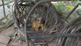 Kinkajou in seinem Nest innerhalb eines Käfigs auf Ekuadorianer Amazonas Allgemeine Namen: Cusumbo, Tuta-kushillu lizenzfreie stockfotografie