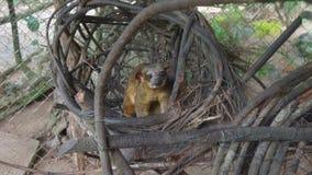 Kinkajou in zijn nest binnen een kooi in Ecuatoriaans Amazonië Gemeenschappelijke namen: Cusumbo, Tuta-kushillu royalty-vrije stock fotografie