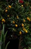 kinkan kumquat, fortunella på ett träd i en blomsterhandel royaltyfri fotografi