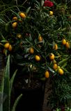 kinkan, kumquat, fortunella on a tree in a flower shop royalty free stock photography