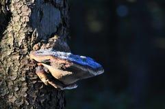 Kinkietowego grzyba huba na drzewnym bagażniku obraz royalty free