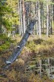 kinkietowi grzyby stump drzewa Fotografia Royalty Free