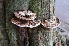 Kinkietowy grzyb zdjęcie stock