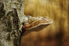 Kinkietowy grzyb na brzozy drzewie obraz stock