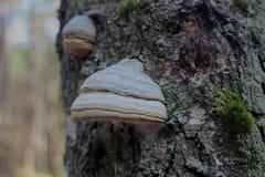 Kinkietowy grzyb na drzewie fotografia royalty free