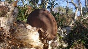 Kinkietowy grzyb na podgniłym drzewie w lesie w Anglia fotografia stock
