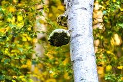 Kinkietowy grzyb w pierwszego planu drewnie, Crowhurst, Wschodni Sussex, Anglia zdjęcia stock